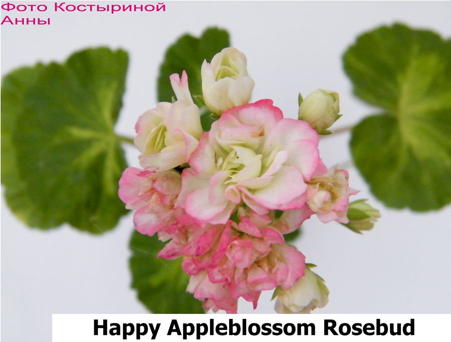 12. Happy Appleblossom Rosebud