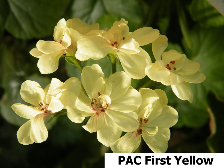 173. PAC First Yellow