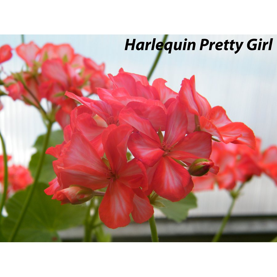 302. Harlequin Pretty Girl