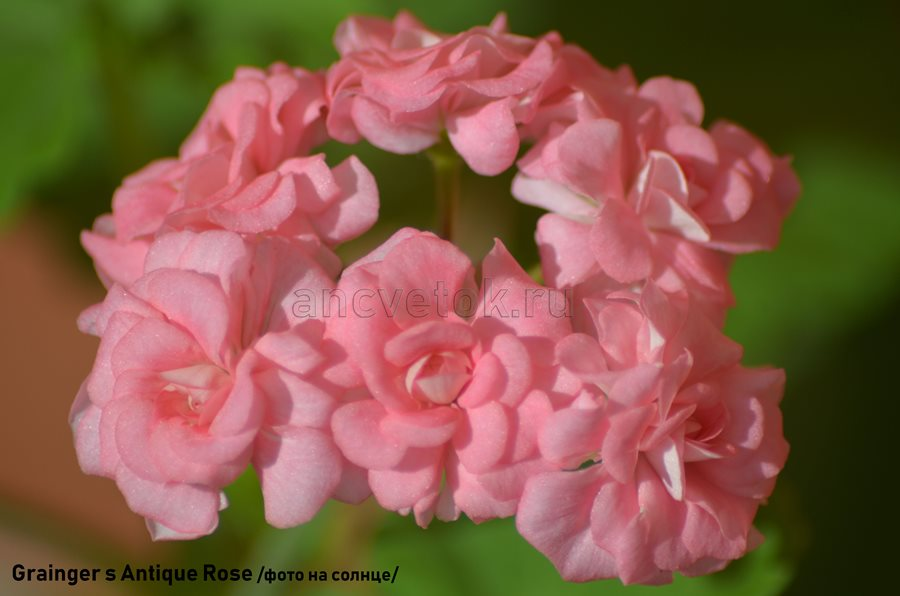 12. Grainger s Antique Rose