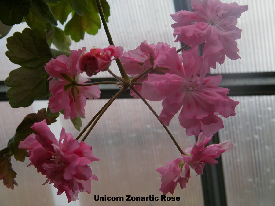229. Unicorn Zonartic Rose