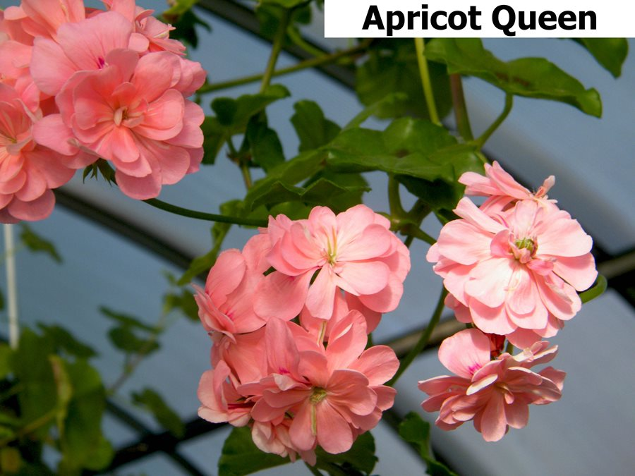 261. Apricot Queen