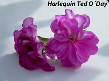 274. Harlequin Ted O´Day