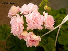 305. Milfield Rose