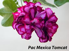 261. Pac Mexica Tomcat