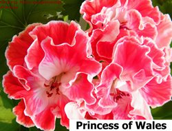 311. Princess of Wales