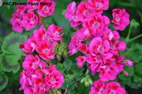 166. PAC Flower Fairy Berry