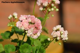 10. Fischers Appleblossom