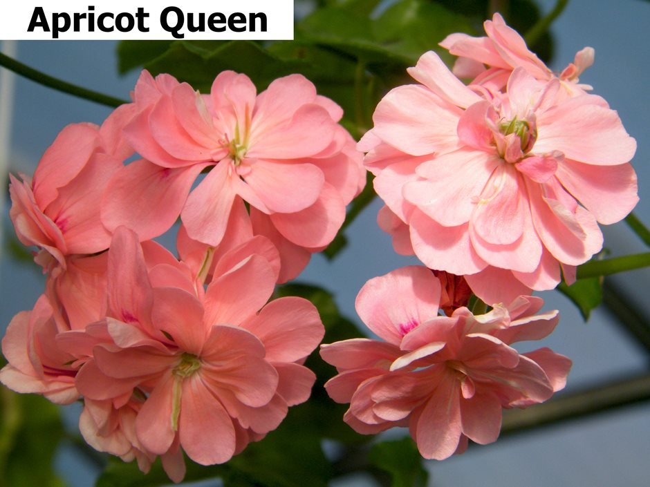 Apricot Queen  (4)