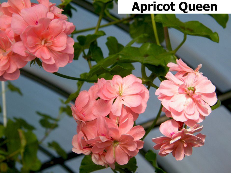 Apricot Queen  (5)