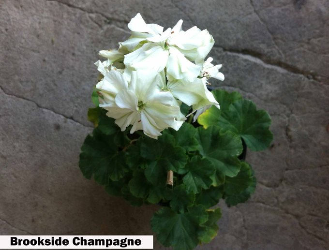 Brookside Champagne (2)