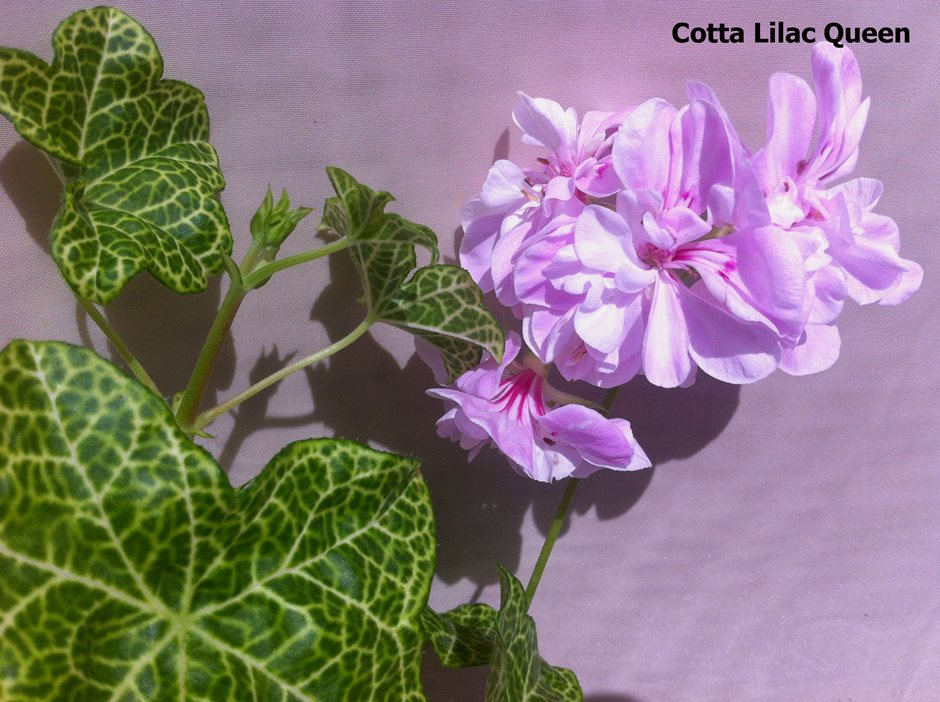 Cotta Lilac Queen (2)