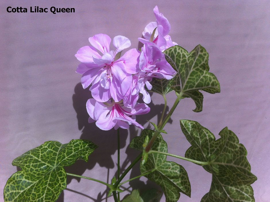 Cotta Lilac Queen (4)