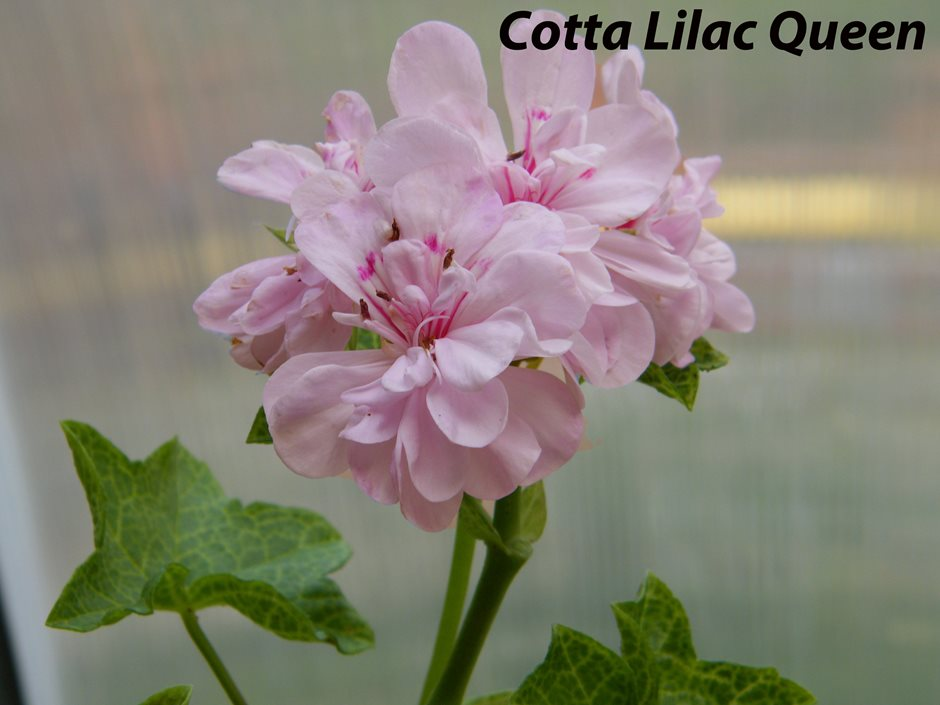 Cotta Lilac Queen
