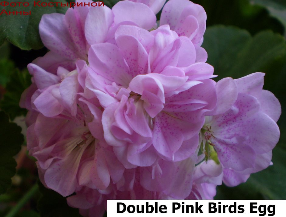 Double Pink Birds Egg.