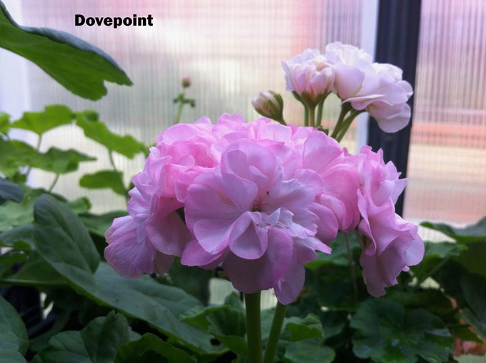 Dovepoint (9)
