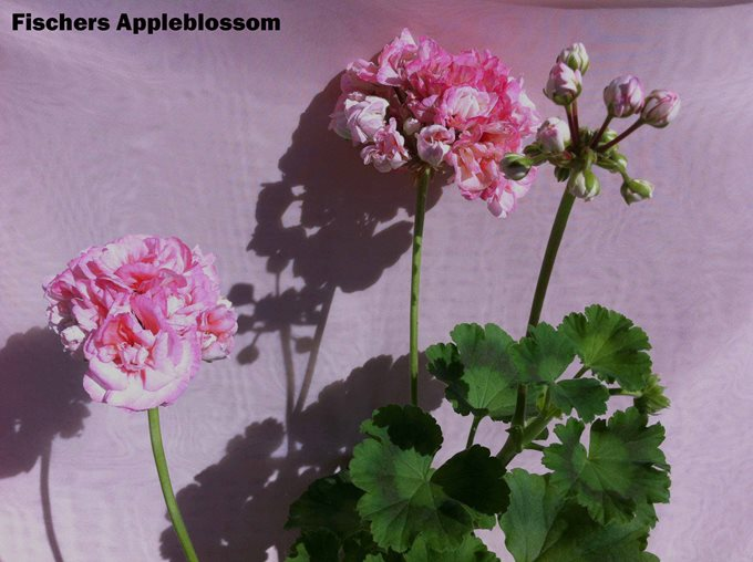 Fischers Appleblossom (4)