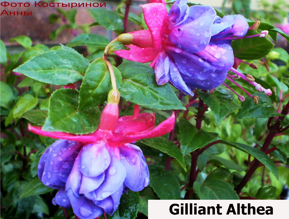 Gilliant Althea