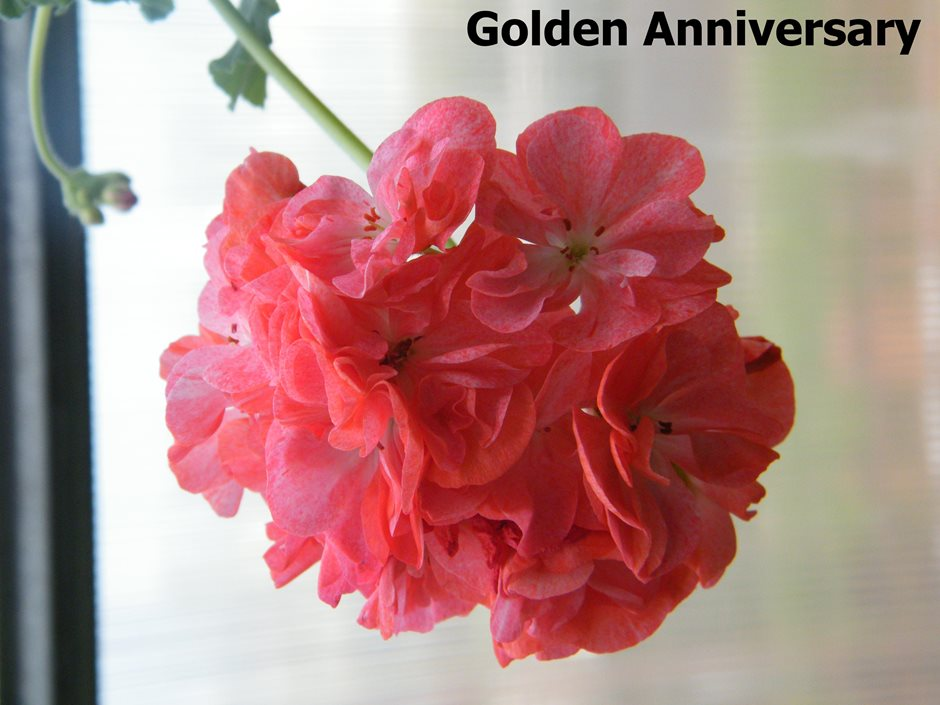 Golden Anniversary (6)