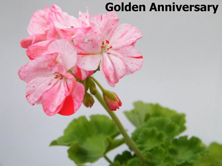 Golden Anniversary 2