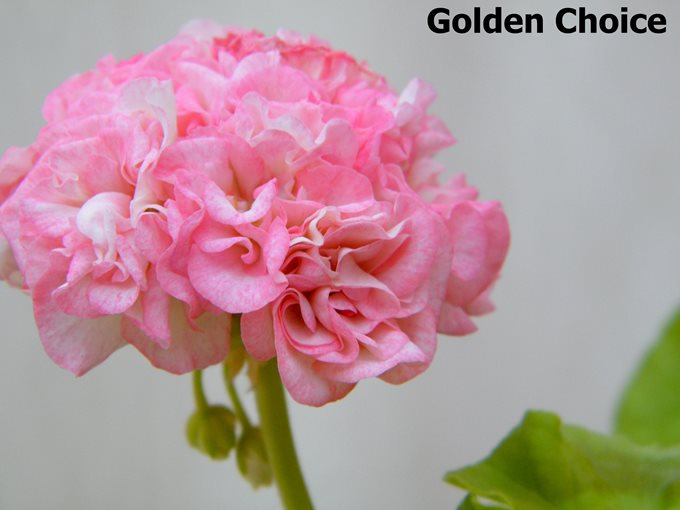 golden choice пеларгония