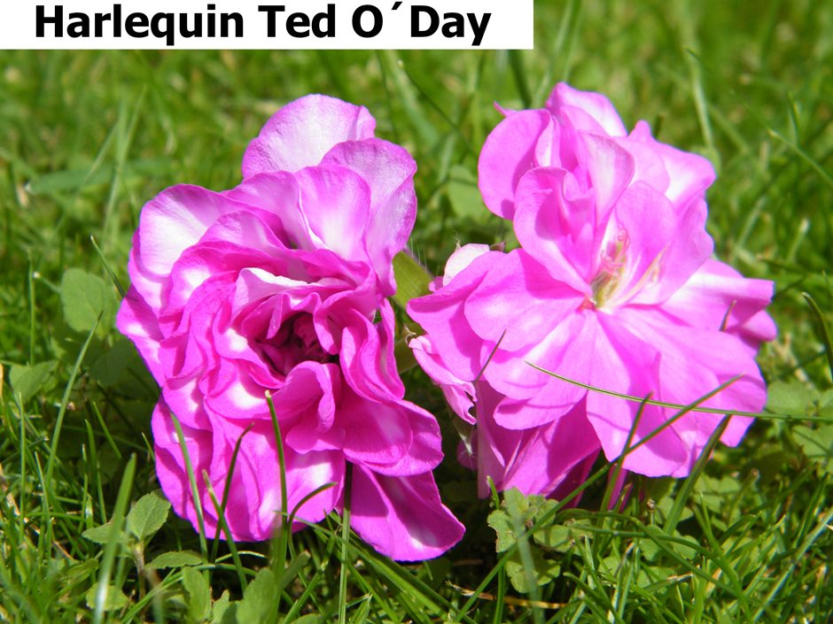Harlequin Ted O´Day (1)