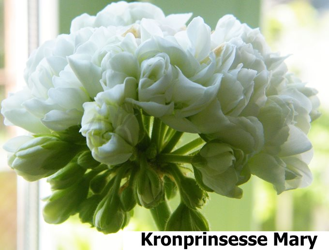 Kronprinsesse Mary (3)