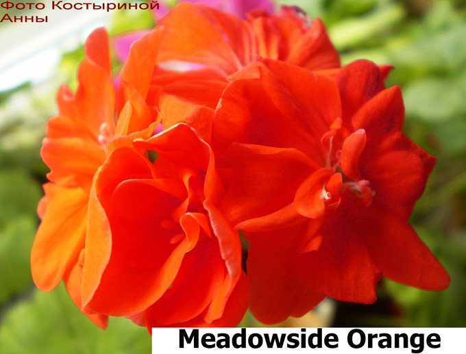 Meadowside Orange