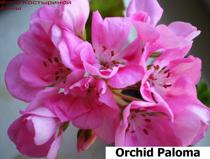 Orchid Paloma