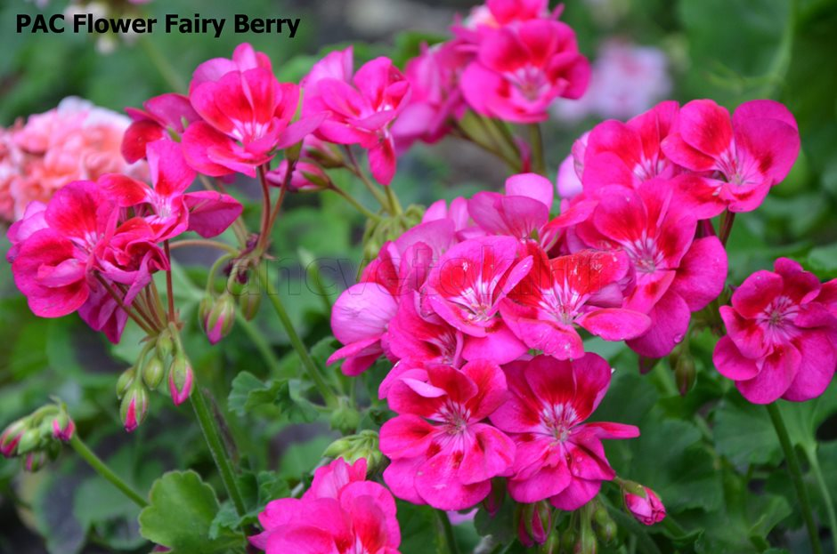 PAC Flower Fairy Berry  2(2)
