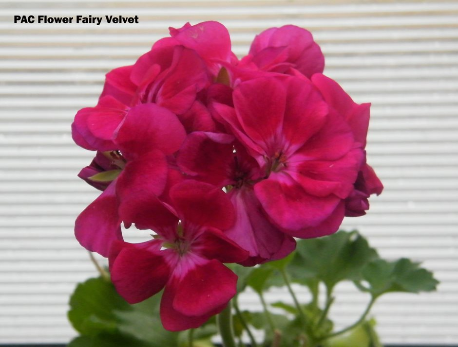 PAC Flower Fairy Velvet (6)