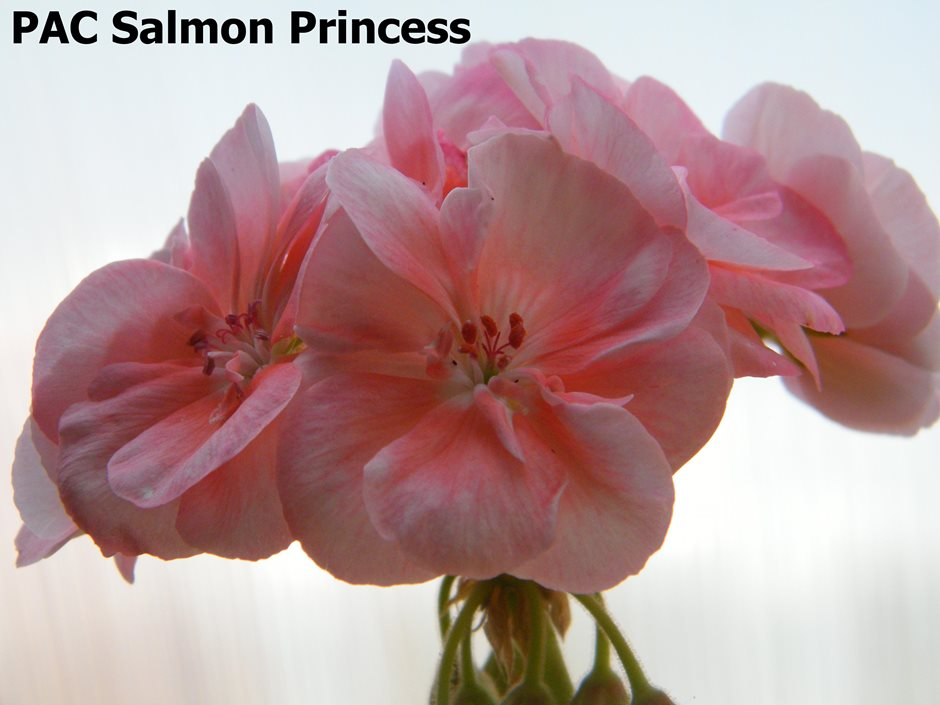 PAC Salmon Princess (1)