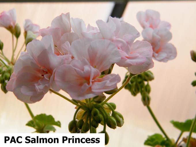 PAC Salmon Princess (4)