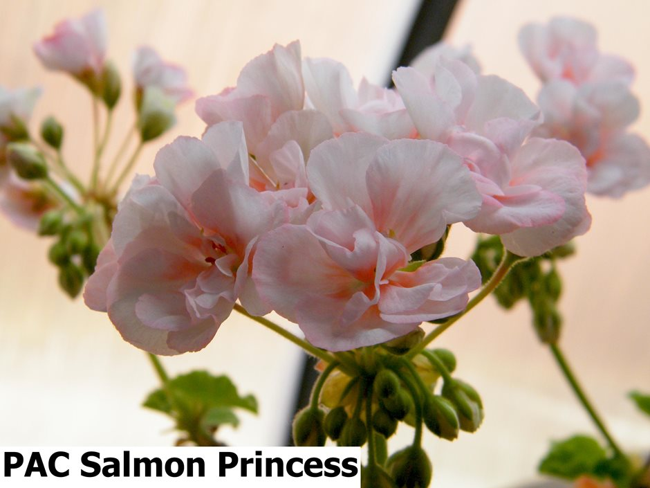PAC Salmon Princess (5)
