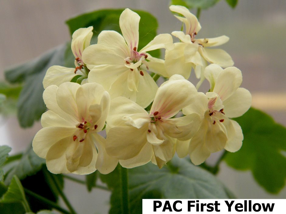 Pac First Yellow (12)