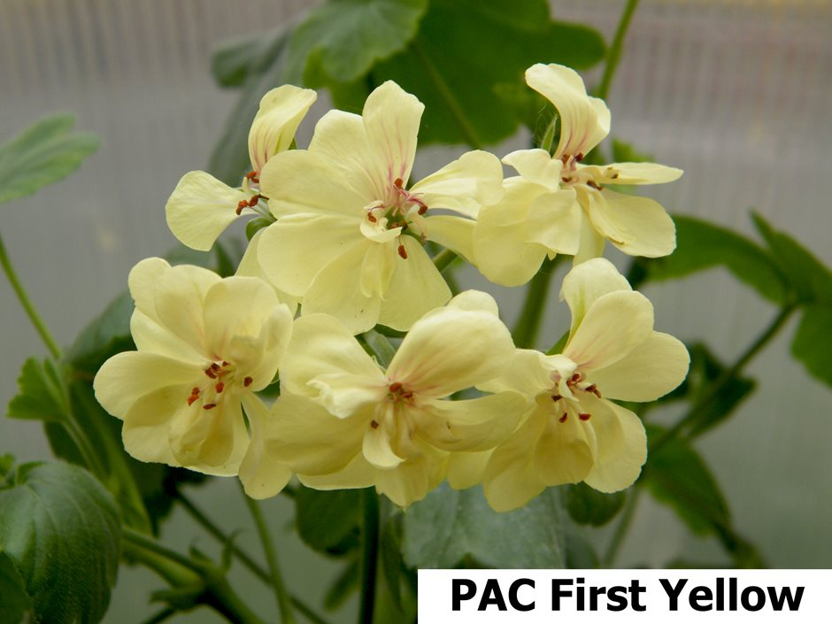 Pac First Yellow (15)