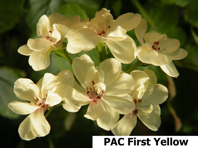 Pac First Yellow (3)