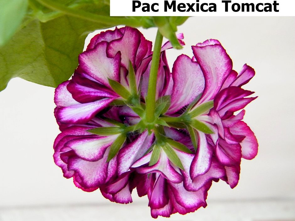 Pac Mexica Tomcat (7)