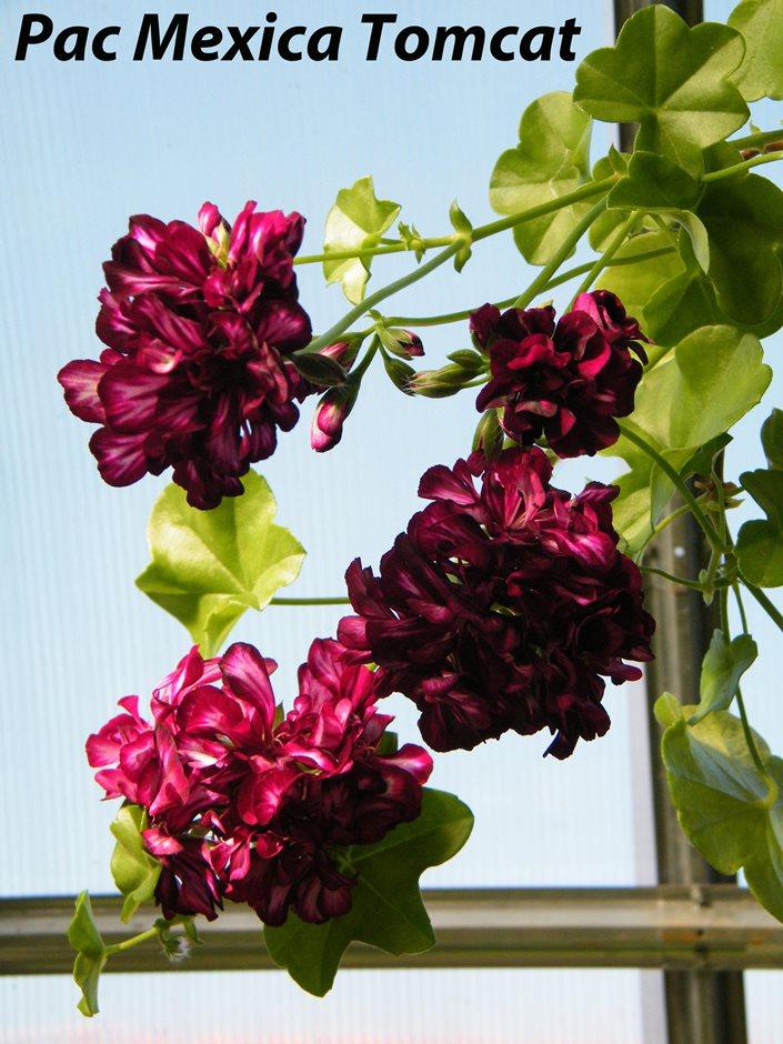 Комнатные растения пеларгония плющелистная (pelargonium peltatum)рас tomcat