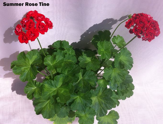 Summer Rose Tine (118)