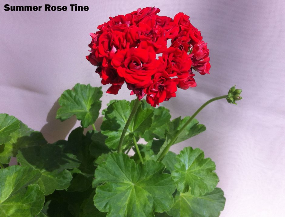 Summer Rose Tine (38)