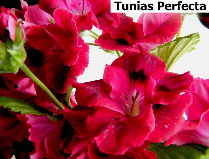 Tunias Perfecta  (3)