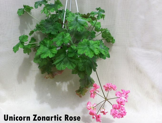 Unicorn Zonartic Rose (11)
