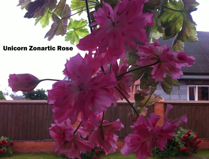 Unicorn Zonartic Rose (67)