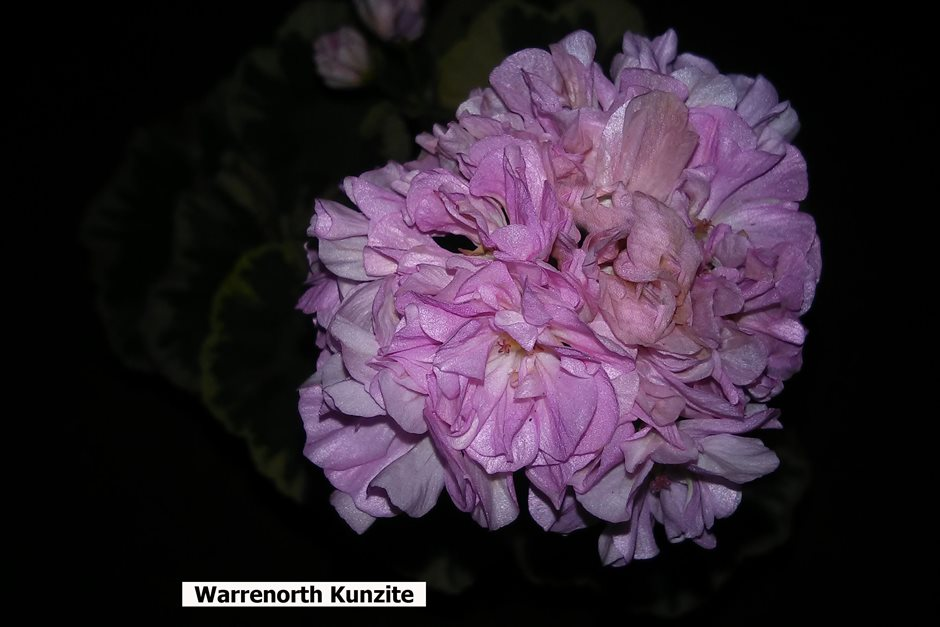 Warrenorth Kunzite (1)